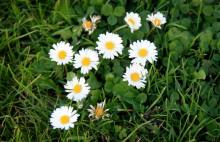 danish daisies small