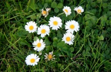danish daisies small